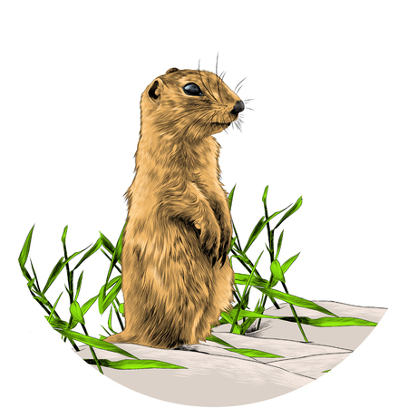 Squirrel standing on two legs in the grass and watching sketch vector graphics color picture Illustration