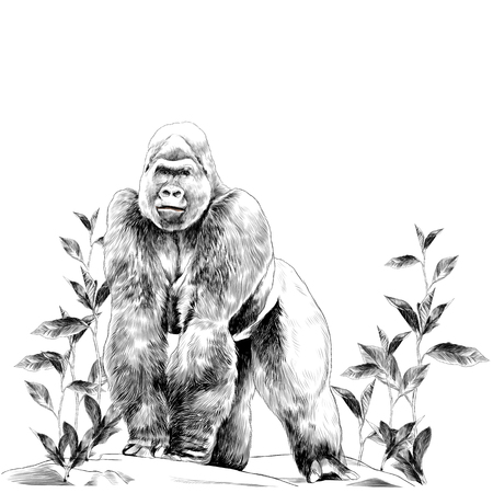 A gorilla stands on the stone. Sketch vector.