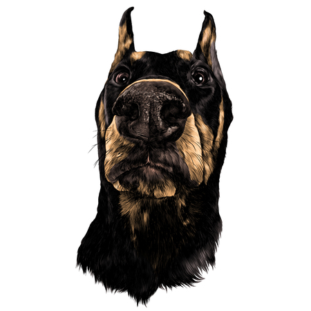 Muzzle dogs breed Doberman nose closeup sketch graphics colored picture