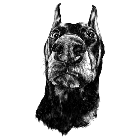 Muzzle dogs breed Doberman nose closeup sketch vector graphics black and white drawing Illustration