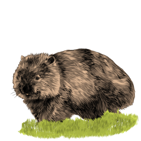 Fluffy wombat sitting in the grass sketch vector graphics color picture Ilustrace