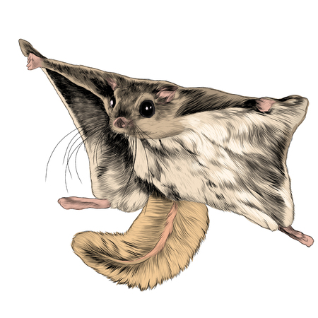 The flying squirrel sketch vector graphics color picture Иллюстрация