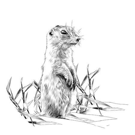 squirrel standing on two legs in the grass and watching sketch vector graphics monochrome drawing