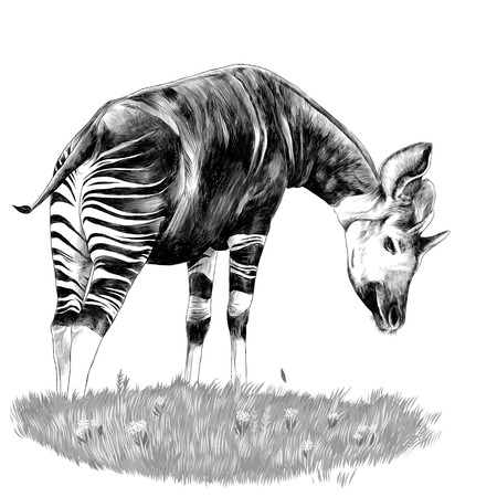 Okapi stands on the lawn and eating grass sketch vector graphics monochrome drawing Illustration