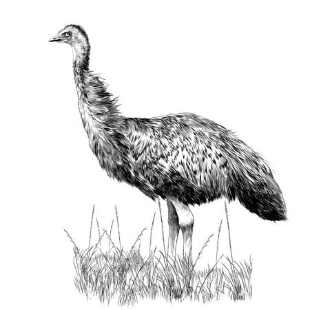 EMUは、黒と白の図面の乾燥した草のスケッチグラフィックスに立っています