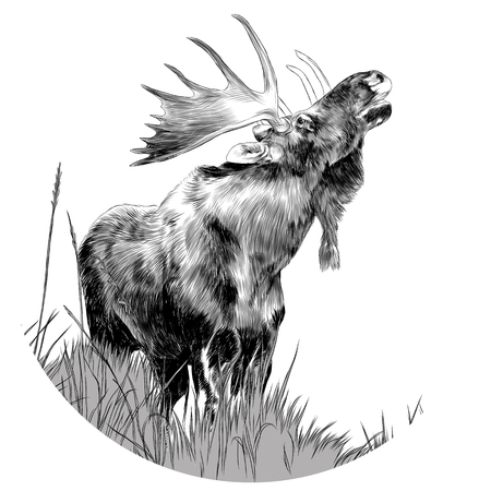 An elk standing on dry grass with head looking up sketch graphics of a black and white drawing