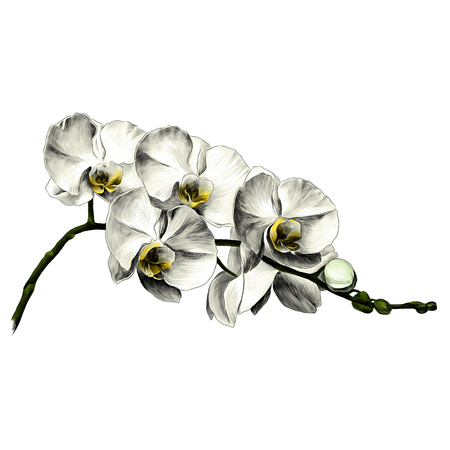 Orchid flower sketch vector graphics color picture