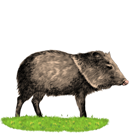 Peccary stands in the grass sketch vector graphics color picture Illustration