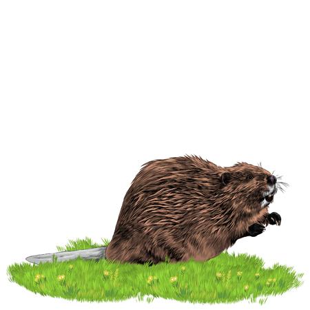 草の上のビーバー。スケッチベクトル。