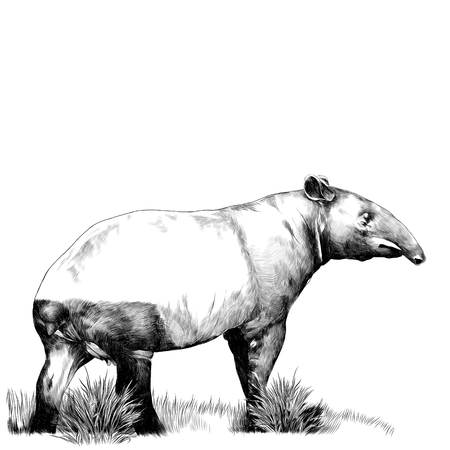 Tapir standing on the grass. Sketch vector.