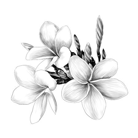 three Magnolia flower sketch vector graphics monochrome drawing