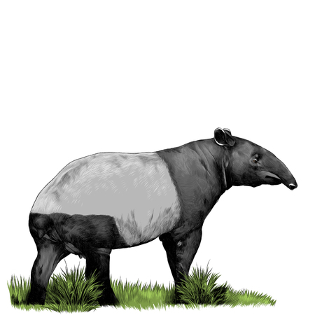 tapir standing in the grass sketch vector graphics color picture Illustration