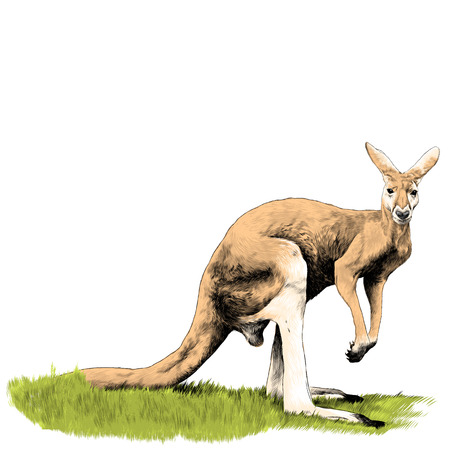 A kangaroo stands in the grass sketch vector graphics color picture