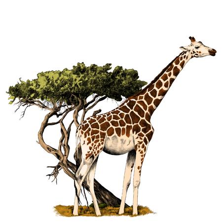 木のスケッチベクトルグラフィックスのカラー画像の近くに立っているキリン  イラスト・ベクター素材