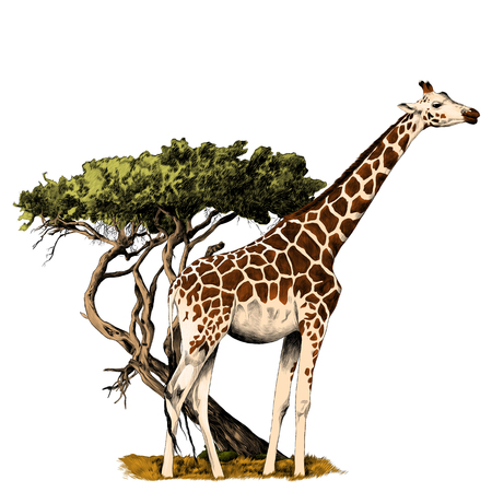A giraffe standing near a tree sketch vector graphics color picture