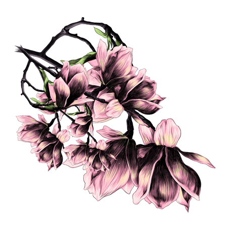 A lush bouquet of flowers of Magnolia sketch graphics colored picture Illustration