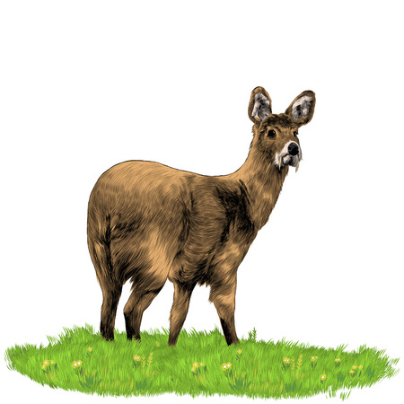 Musk deer with fangs. Sketch vector. Çizim