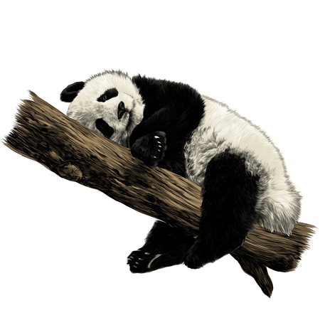Panda lies sleeping on a branch sketch vector graphics color picture