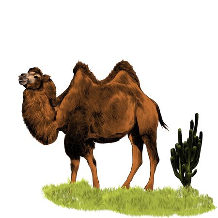 a camel walks full length with two humps on the grass and a cactus grows on the side, sketch vector graphics color illustration on a white background