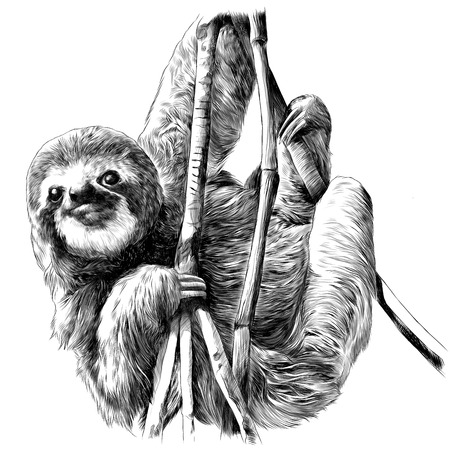 Sloth hanging on the branches. Sketch vector.