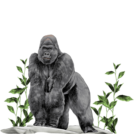 a gorilla stands on all fours on the stone in the grass with leaves sketch vector graphics color picture