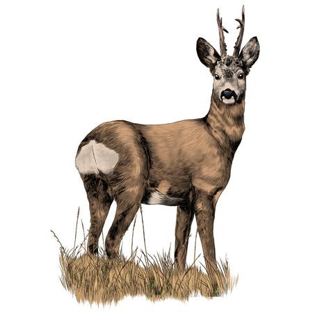 Jeleń stoi w suchej trawie szkic grafiki wektorowej kolorowy obraz