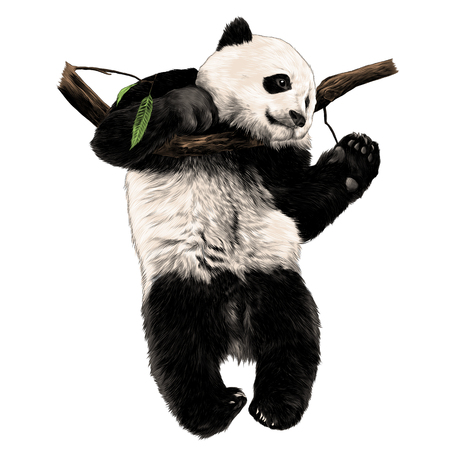 Panda hanging on a branch. Sketch vector. Çizim