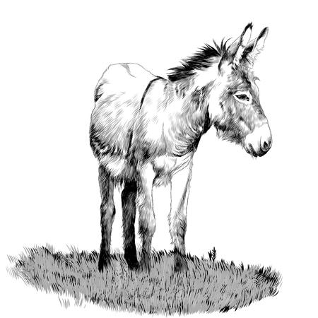 Burro de pie en la hierba y mirando en la dirección del dibujo monocromo de gráficos vectoriales boceto Ilustración de vector