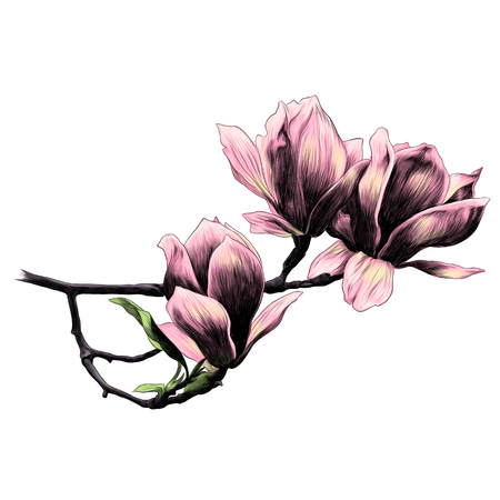 three Magnolia flower sketch vector graphics color picture Illustration