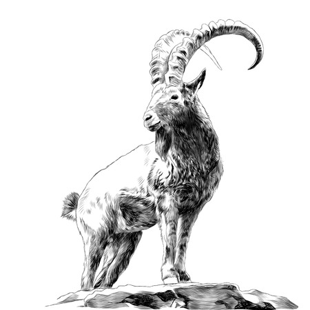 Cabra montés de pie sobre las rocas y mirando en una dirección boceto gráficos de dibujo en blanco y negro