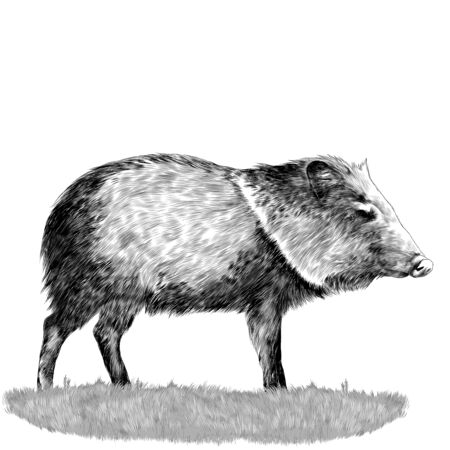 peccary stands in the grass sketch vector graphics monochrome drawing