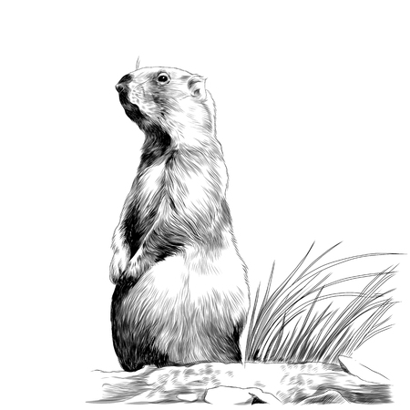 Marmot squirrel sketch graphics of a black-and-white drawing