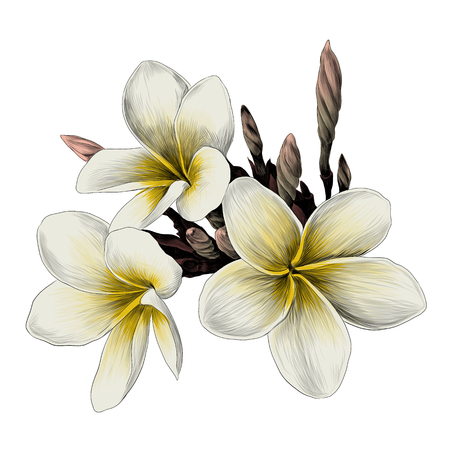 three Magnolia flower sketch vector graphics color picture Ilustrace