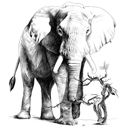 Elephant in full growth is in the sand, the dry branch grows, sketch vector graphics monochrome drawing