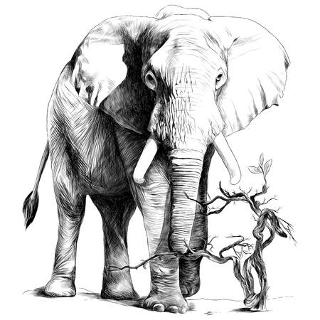L'elefante in piena crescita è nella sabbia, cresce il ramo secco, disegno monocromatico di grafica vettoriale di schizzo