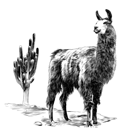 Lama stands in the desert on the sand near the cactus sketch vector graphics monochrome drawing