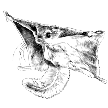 The flying squirrel sketch graphics of a black-and-white drawing