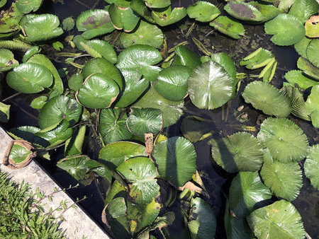 Lily pads on the water next to lawn grass, and concrete fencing