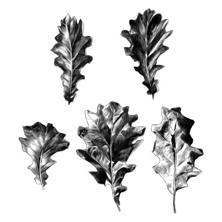 set of oak leaves five elements, sketch vector graphic monochrome drawing