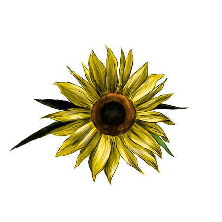 sunflower flower on white background, sketch vector graphic color illustration