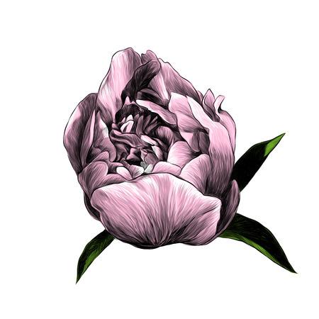 peony flower Bud with leaves, sketch vector graphic color illustration Ilustração