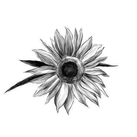 sunflower flower on white background, sketch vector graphics monochrome illustration Çizim