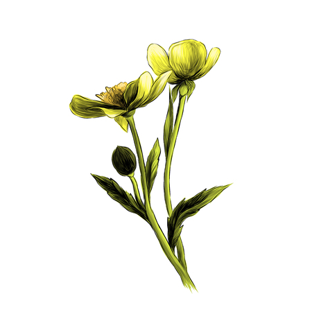 two Buttercup flowers with stems and leaves on white background, sketch vector graphic color illustration Standard-Bild - 102402226