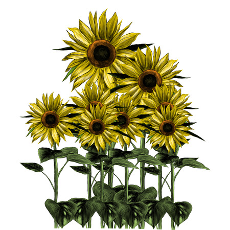 overgrown sunflowers on white background, sketch vector graphic color illustration Çizim