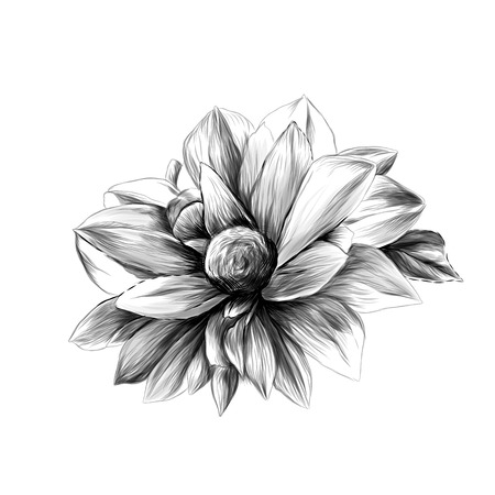 the flower Bud of a Dahlia on a white background sketch vector graphics monochrome illustration