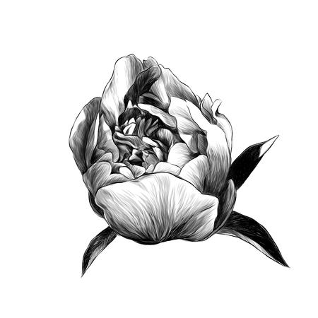 peony flower Bud with leaves, sketch vector graphics monochrome illustration Vektorgrafik