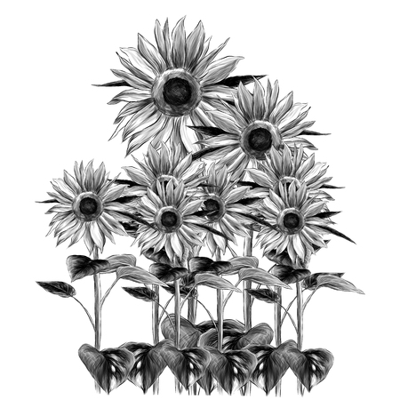 overgrown sunflowers on white background, sketch vector graphics monochrome illustration