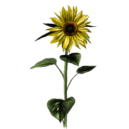 sunflower flower with stem and leaves on white background, sketch vector graphic color illustration