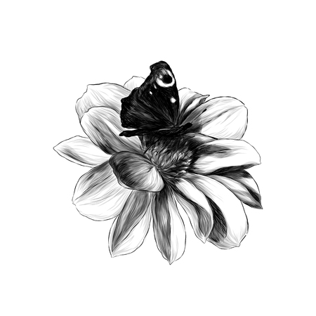 flower Bud Dahlia with butterfly in the center on white background, sketch vector graphics monochrome illustration