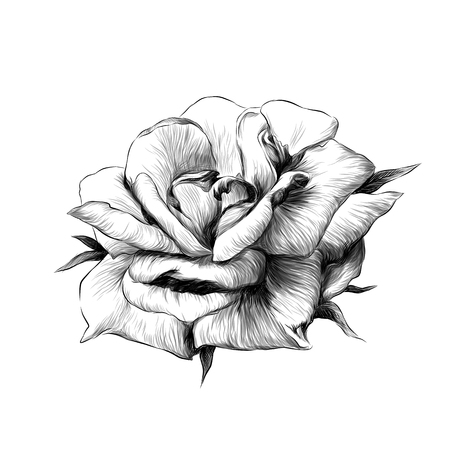 rose flower Bud on white background, sketch vector graphics monochrome illustration